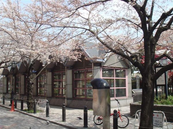 隅田公園的櫻花很美