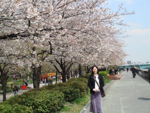 這邊櫻花很密集