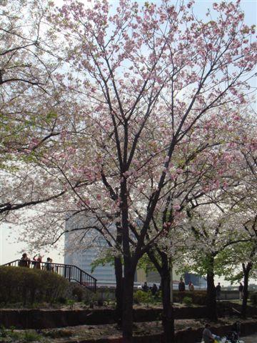 終於看到粉紅色的櫻花