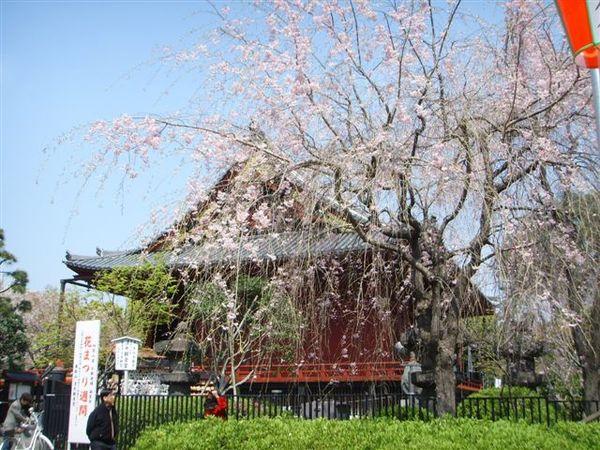 櫻花與寺廟