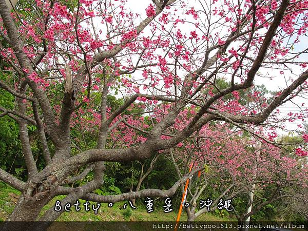 八重岳公園賞櫻