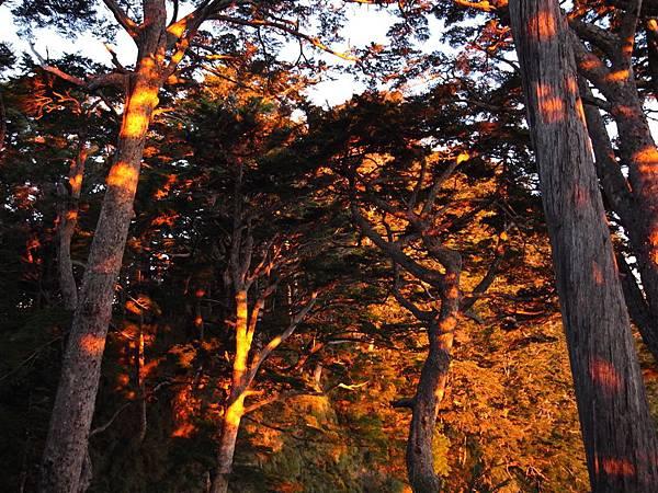 朝出鐵杉林