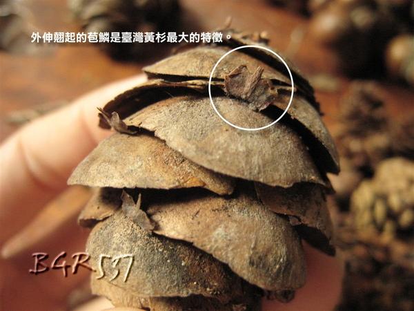 外伸翹起的苞鱗為其最大特徵
