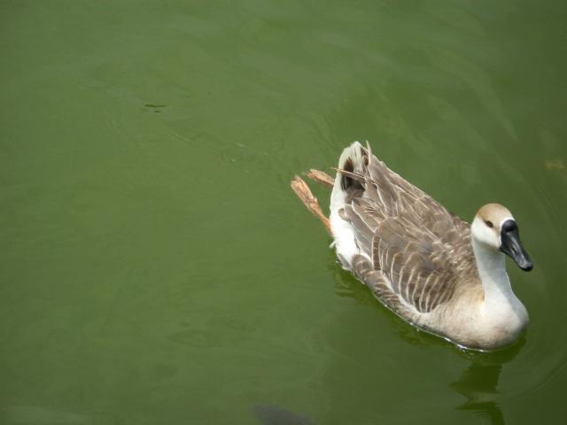 鴨子很懶的都不遊