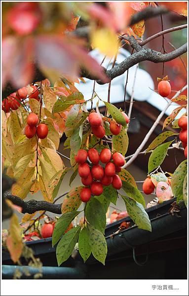 宇治--柿子樹.jpg