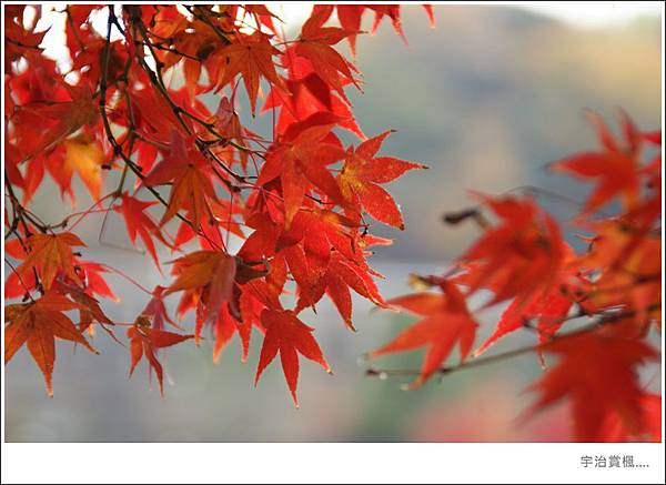 宇治--楓紅.JPG