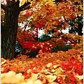 宇治--楓葉地毯.jpg