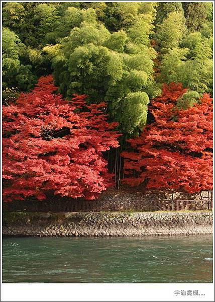 宇治--楓葉紅了.JPG