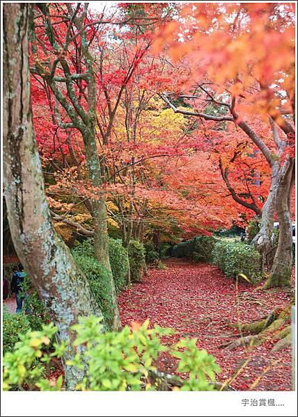 宇治--楓樹林.jpg