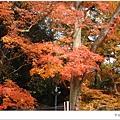 宇治--路邊楓樹.JPG