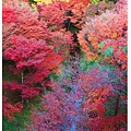 東福寺--色彩豐富的樹林-1.jpg