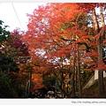 東福寺-前往通天橋的楓樹-1.JPG