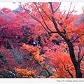 東福寺-楓林-1.JPG