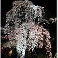 白川南通-夜垂柳櫻花