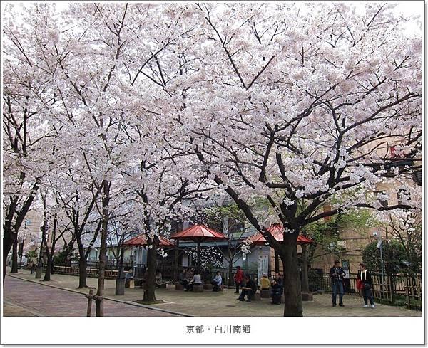 白川南通-櫻花叢