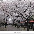 白川南通-櫻花叢1