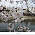 鴨川-白櫻花近拍1