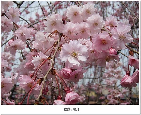鴨川-櫻花近拍1