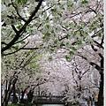 木屋町-櫻花