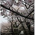 木屋町-櫻花林