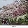 鴨川-五條至四條間櫻花
