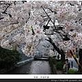 木屋町通-川邊櫻花