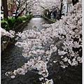木屋町-川邊櫻花林