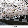 木屋町通-櫻花