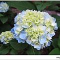 沐心泉-白藍繡球花