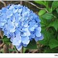 沐心泉-藍繡球花