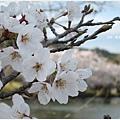 貴志川線-大池遊園櫻花