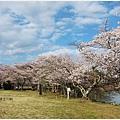 貴志川線-大池遊園櫻花樹