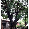 竹東-老樹