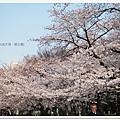 韌公園-藍天櫻花