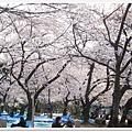 韌公園-櫻花底下