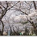 韌公園-櫻花滿天