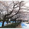 韌公園-櫻花藍地-1