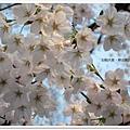 韌公園-櫻滿開