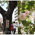 造幣局-楊貴妃櫻花