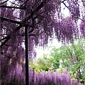 泉南藤花-棚架上的花