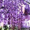 泉南藤花-紫藤花