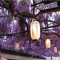 泉南藤花-燈籠