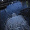 鴨川-黃昏想出遊的烏龜.JPG