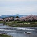 鴨川-櫻花.JPG