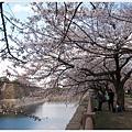 大阪城-河邊櫻花樹下.JPG