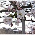 大阪城-櫻花特寫.JPG