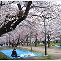 大阪城-櫻花樹下一人.JPG