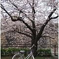 大阪城-櫻花樹下銀醬.JPG