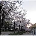 大阪城-櫻花樹夕照.JPG