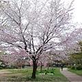 平安神宮-公園內櫻花樹.JPG